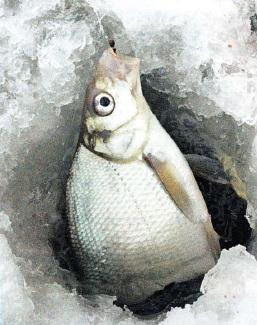 Лещ пойманый на зимней рыбалке
