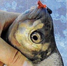 Для плотвы на зимней рыбалке также применяются чертики