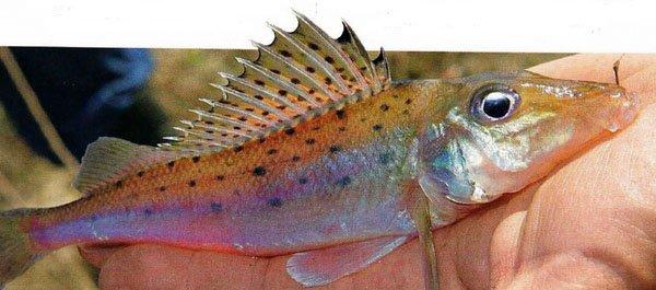 растопыоенные плавники у рыбы - жесты рыбы