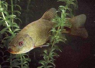 Линь - крупная рыба