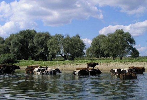Коровы на месте ловли рыбы