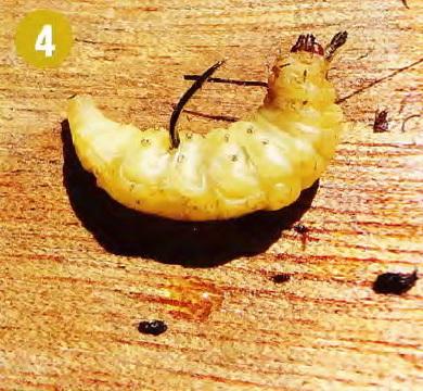 Личинка моли - насадка для крупной рыбы
