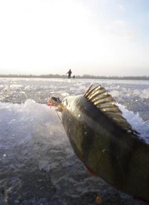 Окунь на льду