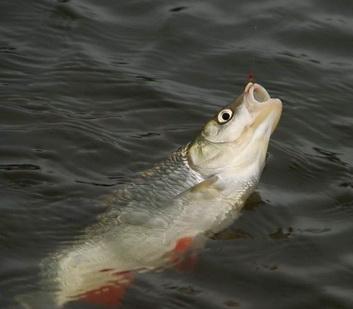 Голавль пойманный на удочку зимой на реке