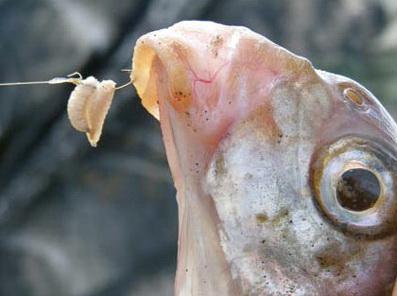 На пикер ловится крупная рыба