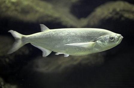 Чехонь - популярный объект любительского рыболовства