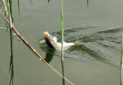 Карась пойманный на удочку в прибрежной зоне