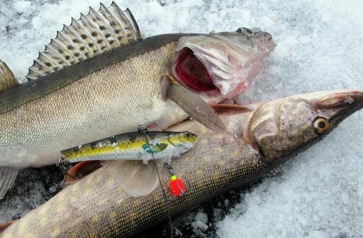 Хороший улов из подо льда с помощью ратлина
