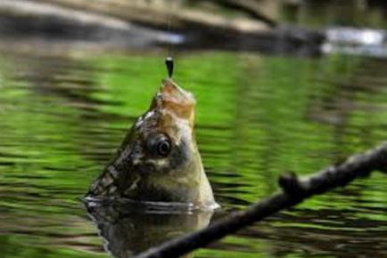 Рыба ловится на снасть с боковым кивком