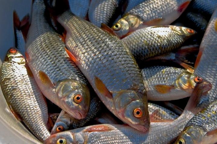 Богатый улов крупной плотвы - обычная добыча речного фидера