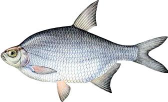 какая рыба густера