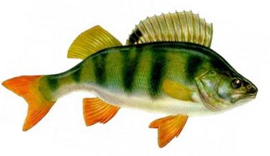 Рыба окунь ловится на червя