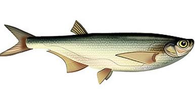 чехонь, ловля рыбы