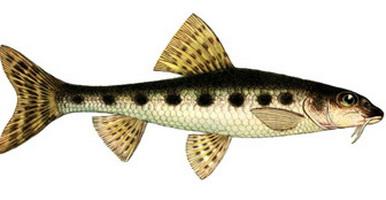 небольшая рыбка пескарь