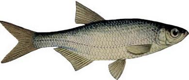 уклейка - популярная рыба