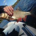 Ловля белой рыбы на Москва-реке