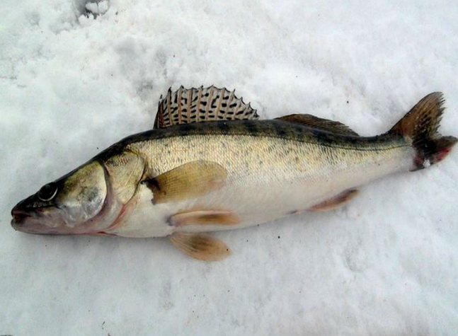 Ловля берша на Рыбинке зимой