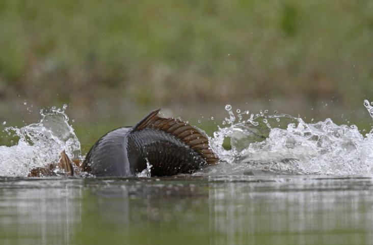 Усиле рыбы на снасти
