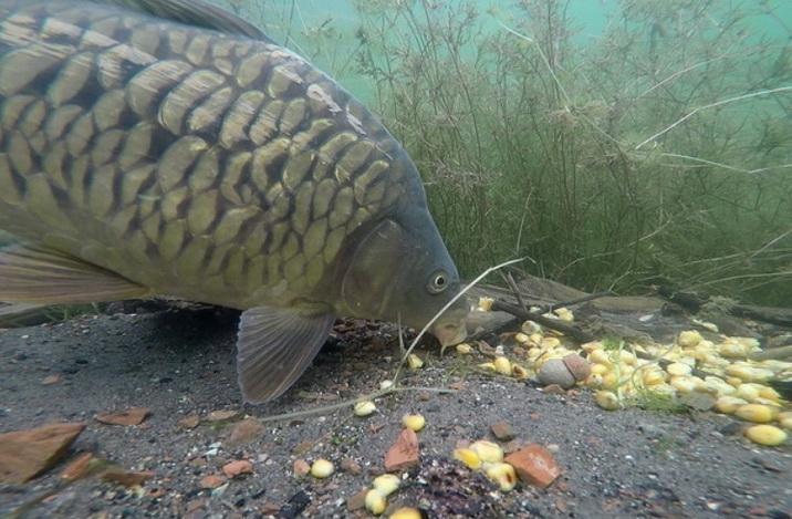 Карп под водой собирает кукурузу