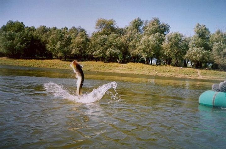 Щука прыгнула из воды