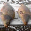 Зимняя ловля карпа со льда — огромные