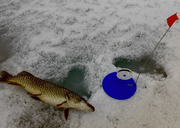 Жерлицы без присмотра — и произошло… Щука на живца зимой, видеоролик
