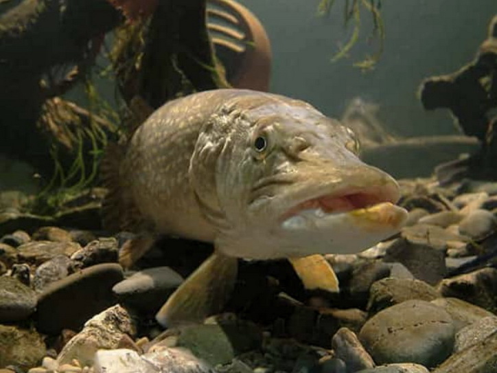 Правила ловли щуки — стереотипы мешающие рыбалке